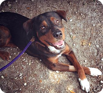 Rottweiler Mix Dog for adoption in Gainesville, Florida - Barbeque