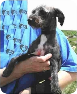 Poodle (Miniature)/Terrier (Unknown Type, Small) Mix Dog for adoption in Cincinnati, Ohio - Travis