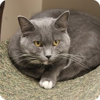 Domestic Shorthair Cat for adoption in Naperville, Illinois - London