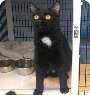 Domestic Mediumhair Cat for adoption in Denver, Colorado - Camera