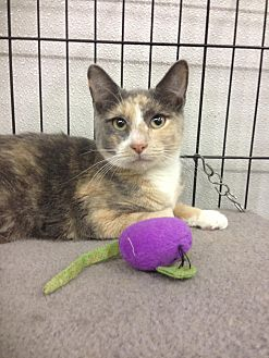 Calico Cat for adoption in Atco, New Jersey - Dawn