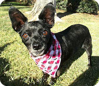 Chihuahua Dog for adoption in El Cajon, California - Annie