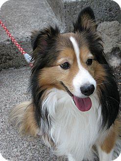 Sheltie, Shetland Sheepdog Dog for adoption in Salem, Oregon - Dooley