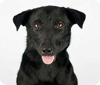 Labrador Retriever Mix Dog for adoption in LAFAYETTE, Louisiana - MOON LITE