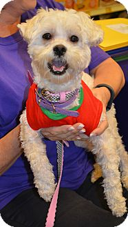 Maltese Dog for adoption in Plano, Texas - BUBBLES -PLAYFUL LITTLE LAPDOG