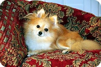 Pomeranian Dog for adoption in Dallas, Texas - Roux
