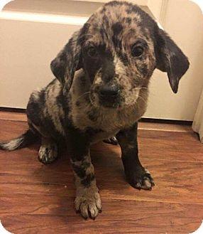 Australian Shepherd Mix Puppy for adoption in Jacksonville, North Carolina - Josie