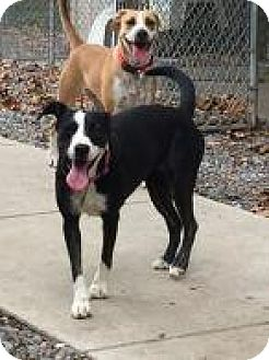 Hound (Unknown Type) Mix Dog for adoption in Rexford, New York - Junie