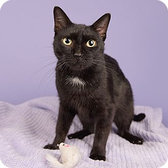 Domestic Shorthair Cat for adoption in Wilmington, Delaware - Black Beauty