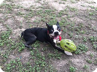 Boston Terrier Dog for adoption in Van Vleck, Texas - Markie