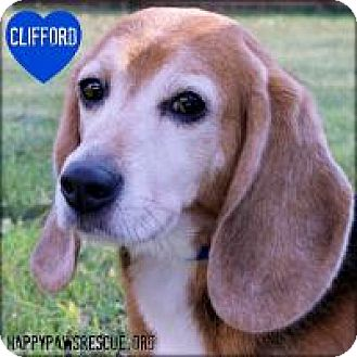 Beagle Dog for adoption in South Plainfield, New Jersey - Clifford