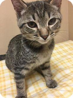 Domestic Shorthair Kitten for adoption in Cumming, Georgia - Buddy