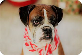 Boxer Dog for adoption in Oviedo, Florida - Rocky