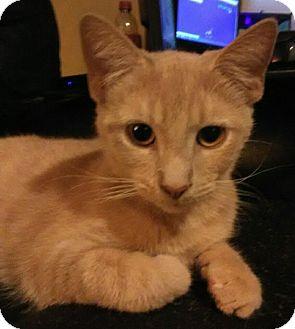 Domestic Shorthair Kitten for adoption in Middletown, Ohio - Odysseus