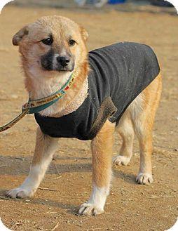 Spitz (Unknown Type, Medium)/Jindo Mix Puppy for adoption in Smithtown, New York - Pluto