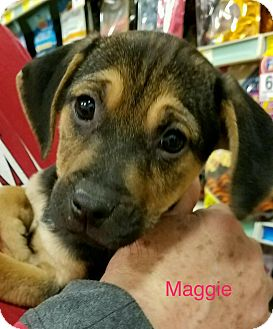 Beagle Mix Puppy for adoption in Sugar Grove, Illinois - Maggie