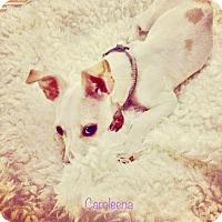 Adopt A Pet :: Caroleena - Nanuet, NY