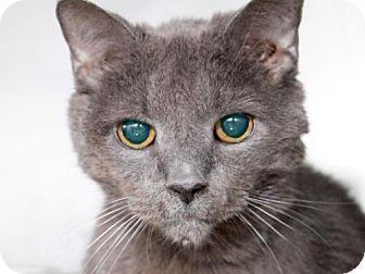 Domestic Mediumhair Cat for adoption in Camarillo, California - SHADOW