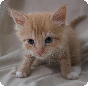 Domestic Shorthair Kitten for adoption in Canyon Country, California - Sherbert