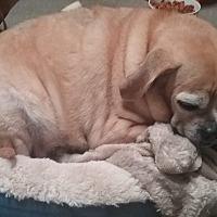 Pug/Beagle Mix Dog for adoption in Benton, Pennsylvania - Lilo