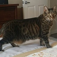 Domestic Longhair Cat for adoption in Los Angeles, California - DASHER