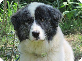 Great Pyrenees Dog for adoption in Kiowa, Oklahoma - Bouncer
