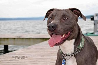 Pit Bull Terrier Mix Dog for adoption in Binghamton, New York - Cuba