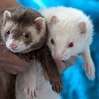 Ferret for adoption in Brandy Station, Virginia - CHARLES XAVIER & CAESAR