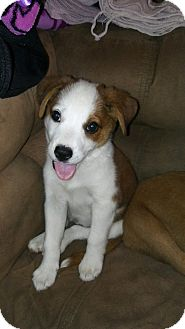 Collie/Shepherd (Unknown Type) Mix Puppy for adoption in oklahoma city, Oklahoma - Poppy