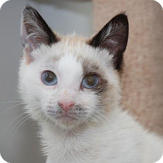 Siamese Cat for adoption in San Francisco, California - Dakota
