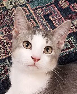 Domestic Shorthair Kitten for adoption in Colfax, Iowa - Dakota