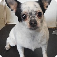 Chihuahua Dog for adoption in Yucaipa, California - Betsey