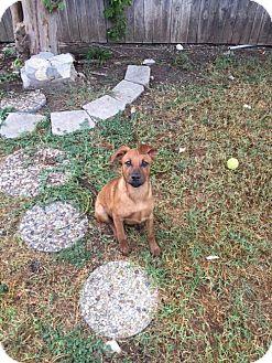 Retriever (Unknown Type)/Retriever (Unknown Type) Mix Dog for adoption in Olympia, Washington - Kiwi