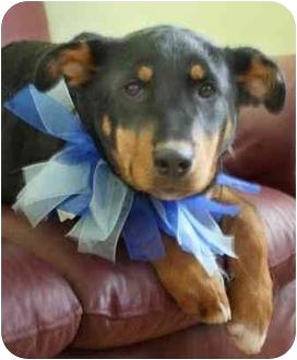 Rottweiler Mix Puppy for adoption in Okotoks, Alberta - Cashew