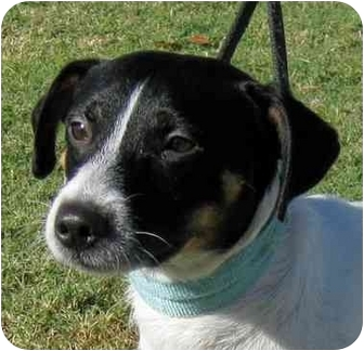 Jack Russell Terrier Mix Dog for adoption in Olive Branch, Mississippi - Haus