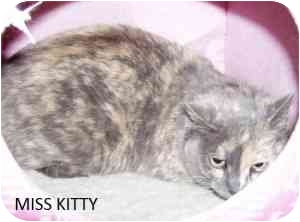 American Shorthair Cat for adoption in Hopkinsville, Kentucky - Miss Kitty