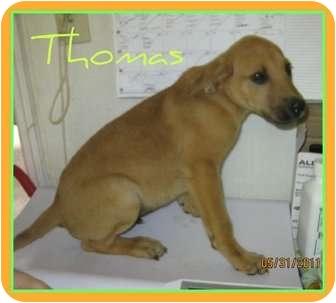 German Shepherd Dog/Labrador Retriever Mix Puppy for adoption in Menasha, Wisconsin - Thomas