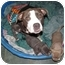 Photo 2 - American Staffordshire Terrier Mix Dog for adoption in Studio City, California - BELLE