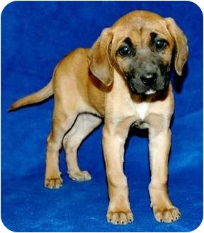Hound (Unknown Type) Mix Puppy for adoption in Charleston, South Carolina - Twinkie