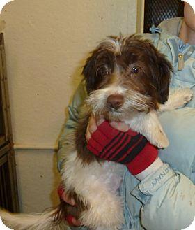 Shih Tzu/Chihuahua Mix Puppy for adoption in Wichita, Kansas - Percy