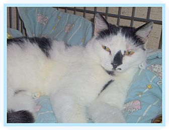 Domestic Shorthair Cat for adoption in Medford, Wisconsin - HALLIE