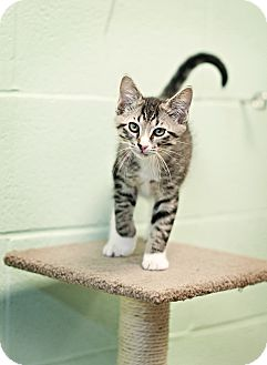 Domestic Shorthair Kitten for adoption in Carencro, Louisiana - Bandit