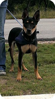 Shepherd (Unknown Type) Mix Dog for adoption in Spring Branch, Texas - Chloe