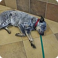 Adopt A Pet :: Ryder - Adoption Pending - Phoenix, AZ