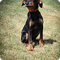 Adopt A Pet :: Whitney - Broomfield, CO