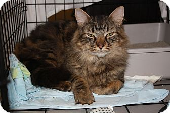 Domestic Longhair Cat for adoption in Akron, Ohio - Mikey