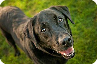 Labrador Retriever Dog for adoption in Freeport, Maine - Jordan (in Etna, ME)