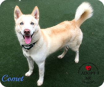 Husky Dog for adoption in Youngwood, Pennsylvania - Comet