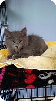 Russian Blue Kitten for adoption in McDonough, Georgia - Dusty