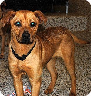 Boxer Mix Dog for adoption in Aiken, South Carolina - Shannon
